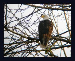 Skagit Bald Eagle 1 by swashbuckler