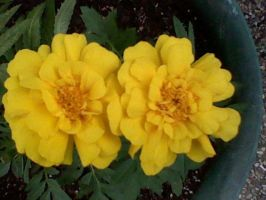 Yellow Marigolds by EternalSword7