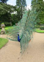 Peacock Glory by NickField