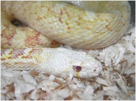Albino Sonoran Gopher Snake by TalkStock