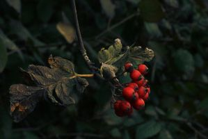 red berries by PhotoFrama