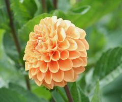 orange filled dahlia by ingeline-art