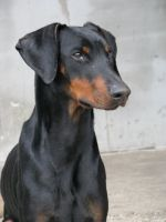 Ramzes - doberman by silis666