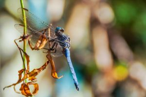 Dragonfly by mcastiello