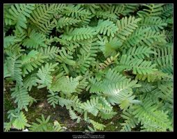 Ferns - 1 by Angelrat-Stock