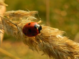 Ladybird by Chickenzaur
