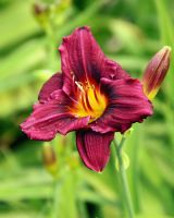 Deep Purple Daylily by TheSleepyRabbit