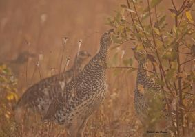 Sharp-tailed Grouse by Les-Piccolo