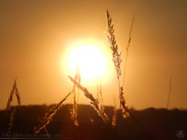 Sunset and Calamagrostis by resh11ka
