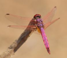 Dassia dragonfly August 2014 4 1 by melrissbrook