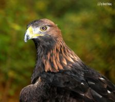 Steinadler / Golden Eagle 9 by bluesgrass