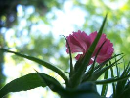 A pink flower by evanna11