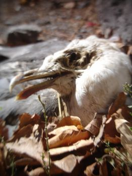 Dead Gull in Le Croisic by ed---end