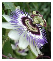 Passion Flower by MugsyWebb