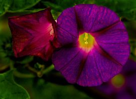 Morning Glory by boron