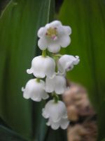 Lily of the valley by BlackChiou
