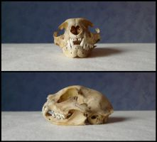 Domestic Cat Skull #1 by CabinetCuriosities