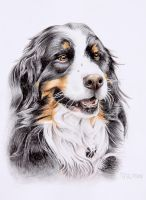 Bernese mountain dog Vincent by Melli81