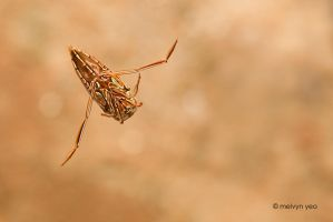 Water Boatman - Kubah by melvynyeo