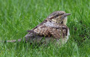 Freeze!! - Wryneck by Jamie-MacArthur