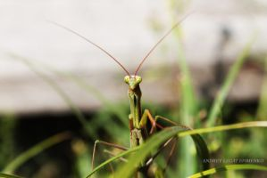 Mantis ... thinking?) by Legat1992