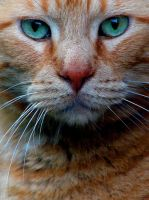 Male Orange Cat by Ashleys-Creations