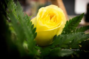 Yellow Rose by JForbes1701