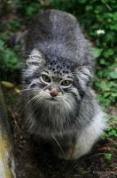 Pallas Cat by Homunculi92