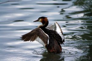 Great Crested Grebe 2 by Tinap