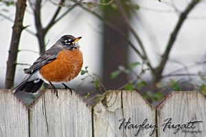 Robin by photographygrl