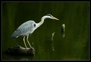 Wild Grey Heron by lomoboy