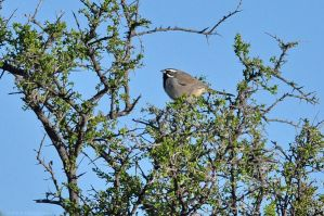 Black-throated Sparrow by robbobert