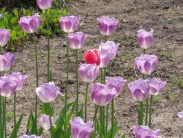 Tulip Time 5 2015 by The-Smile-Giver