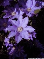 Flower 11 : Purple clematis by taeliac-stock