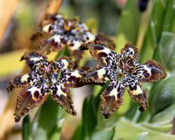 Speckled Baboon Flower by Caloxort