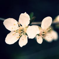 cherry blossom by fastidious-cat