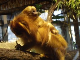Lion tamarin by decors