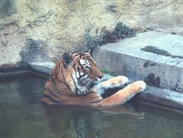 Swiming Tiger by Ngatuny