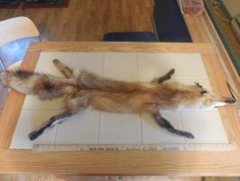 Male Red Fox (For Sale) by Saceronsage