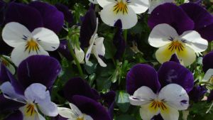purple, yellow, and white by K8kate160