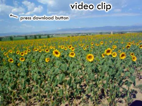 Sea of Sunflowers by krazykarl