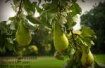Delicious wild Pears by AngelOfDarkness089