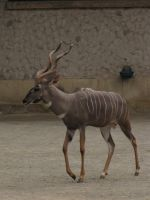 Lesser Kudu 03 by animalphotos