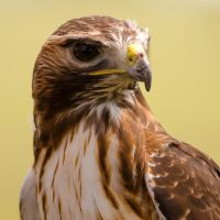 Red-Tailed Hawk by do7slash