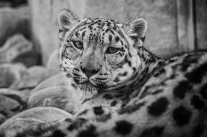 Snowleopard, KA XI by FGW-Photography