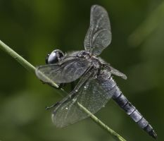 Yet another dragonfly by An-Drake
