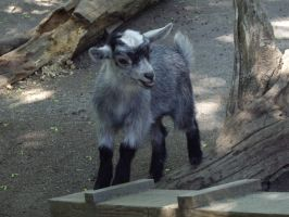 Baby Goat by decors