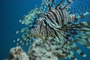 lion fish by everydayexplorer