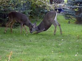 Two deer playing... by Colonelengle