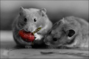 Cute Hamster's by Canchupotterica